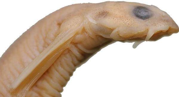 Усатая ванделлия паразит