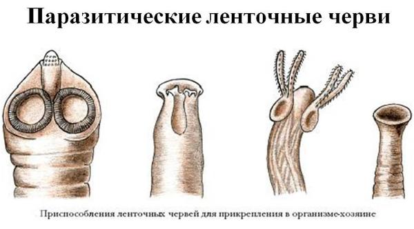 ленточные черви