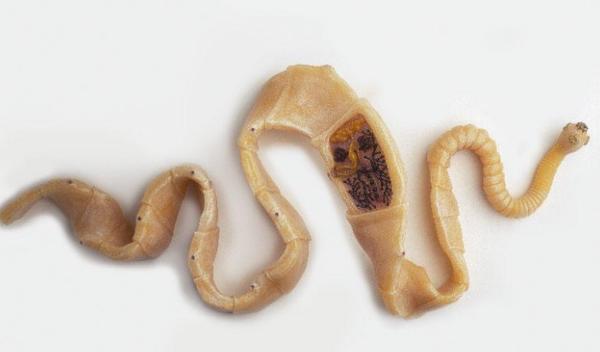 ленточный червь