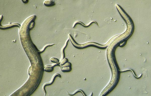 вермокс от каких паразитов помогает