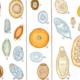 Яйца глистов (гельминтов): от зарождения до появления особи