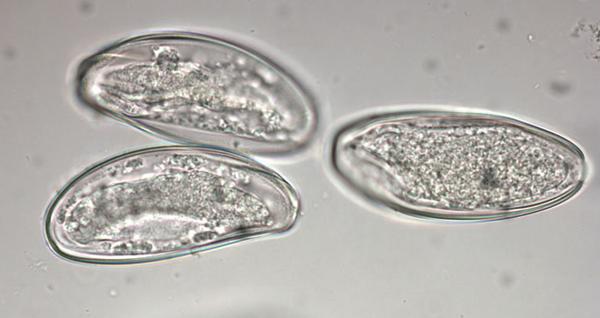 Откладывание яиц гельминтами
