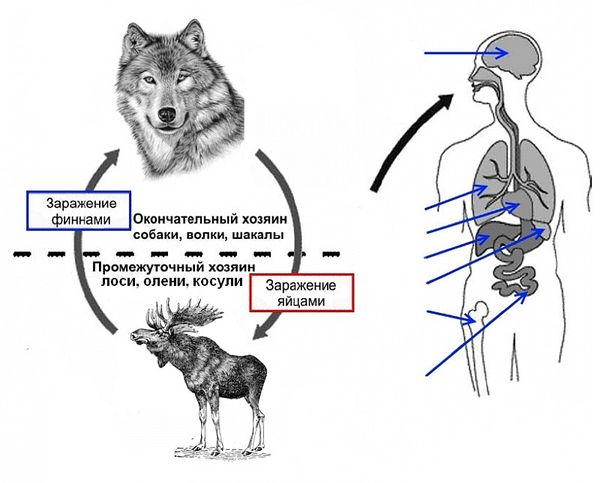 Глисты у животных