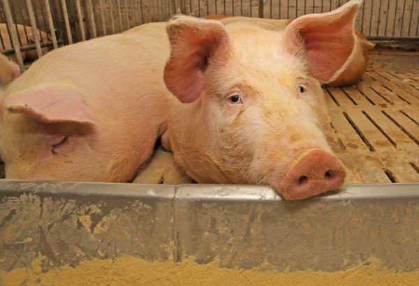 Эхинококкоз свиней