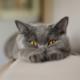 Кошки – источник радости или виновник передачи паразитарных инфекций?