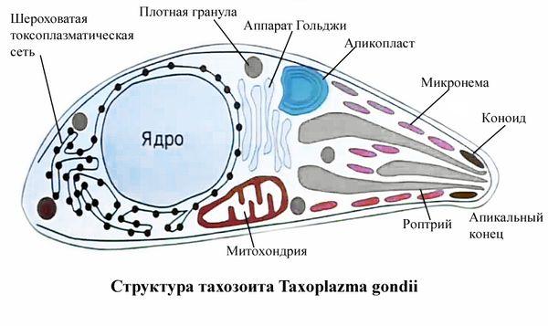 токсоплазма gondii
