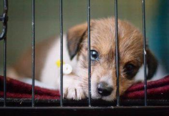Изоспороз (кокцидиоз) опасен для щенков, но излечим