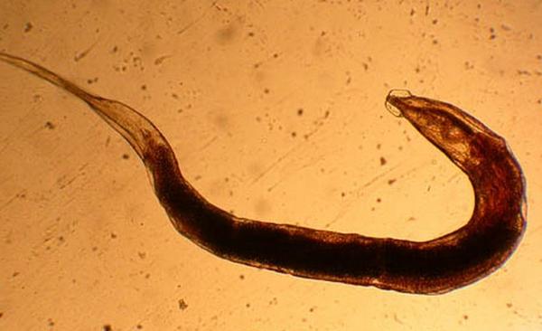 Профилактика аскаридоза на садовом участке