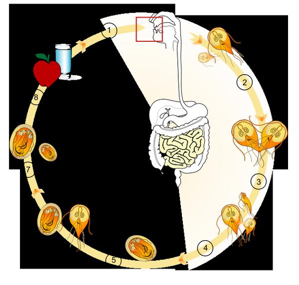 Лямблии в кишеянике