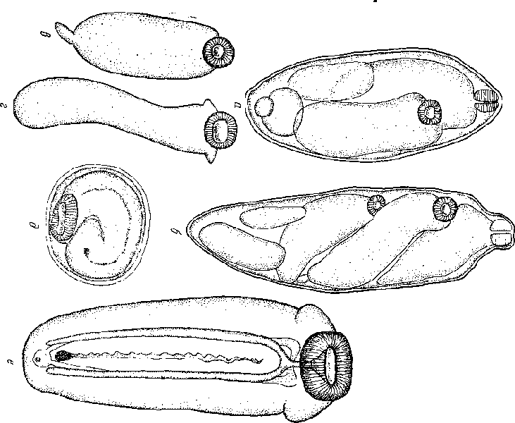трематоды цикл развития