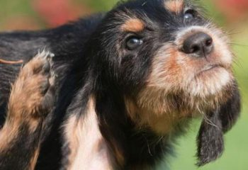 Пироплазмоз (бабезиоз) — актуальность и опасность у собак