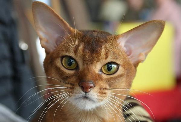 Стронгхолд для кошек