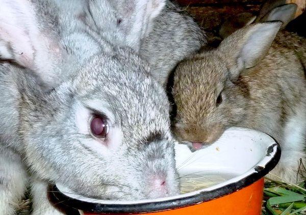 Цистицеркоз кроликов