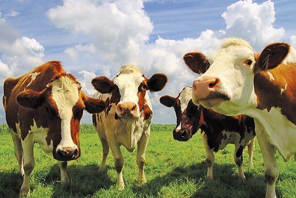 Цистицеркоз крупного рогатого скота (КРС)