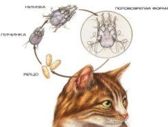Ушная чесотка у кошек