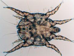 Ушные паразиты